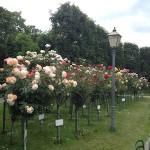 Rosen im Volksgarten